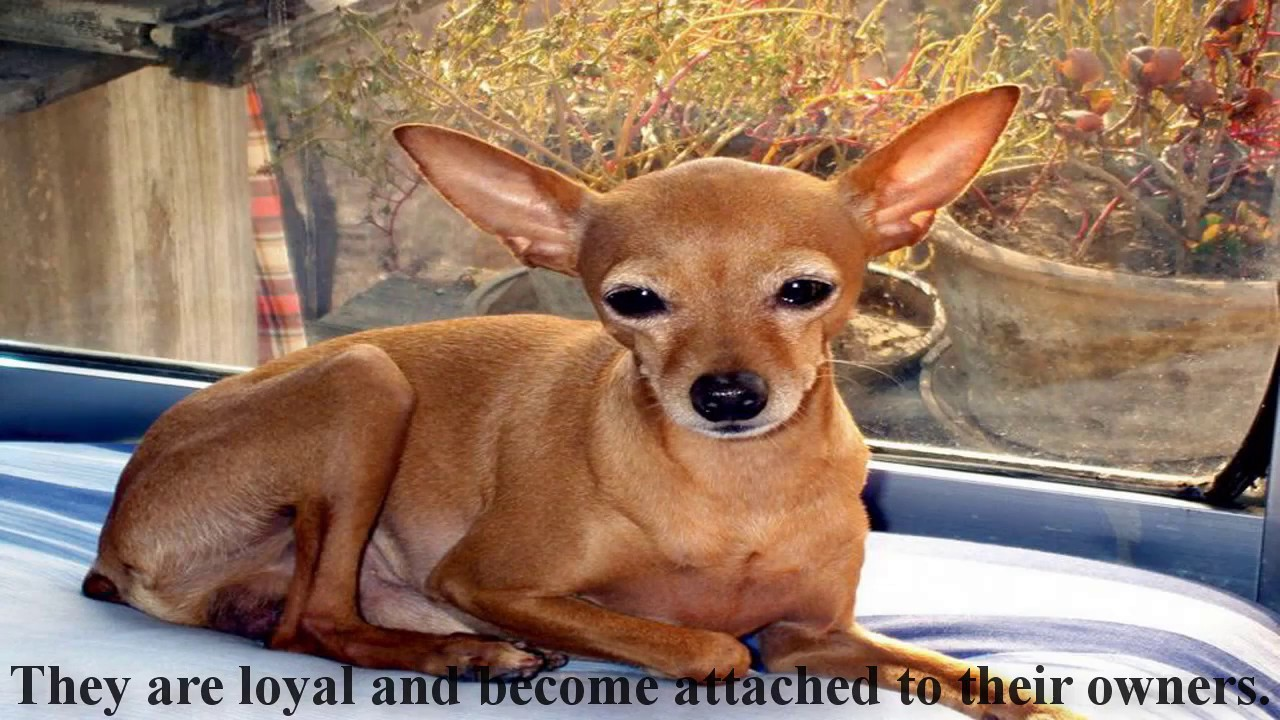R Chihuahuas Smart How To Use The Chihuah...