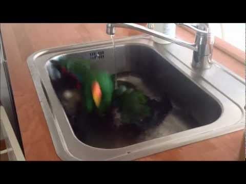 Eclectus parrot loves bathing :)