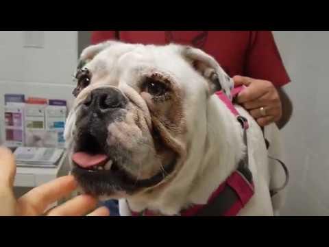 Bulldog Post-Op Entropion Surgery Dr. Kreamer @Vet4Bulldog.com