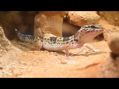 Leopard Gecko Hunting