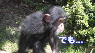 日本モンキーセンター チンパンジーのマモル ~見晴らし編~