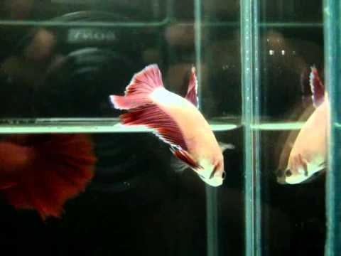 { Sold out } Betta Splendens : (0910-24) Pinky Butterfly HM STF.mp4
