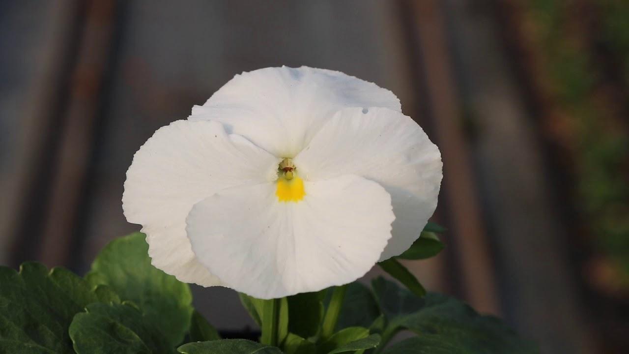 Viola Del Pensiero A Fiore Grande Inspire Plus White Youtube