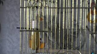 Пение кореллы. Мой попугай-корелла.