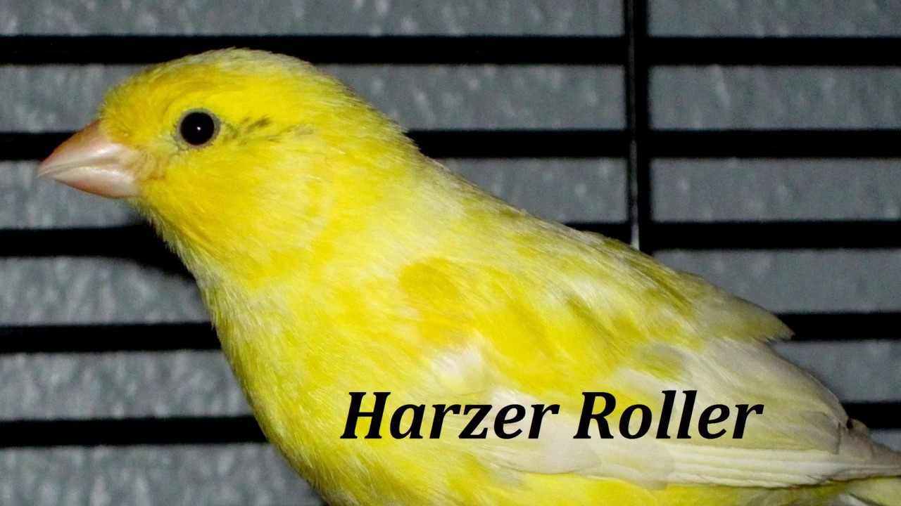 chant canaris harzer roller