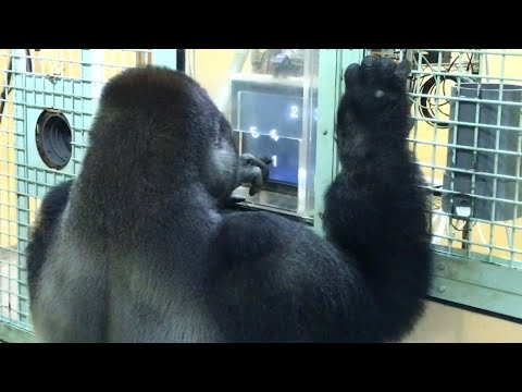 Andy Woods - This Gorilla Family Is Better At Math Than I Am