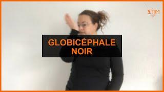 BIOLOGIE MARIN - Globicéphale noir