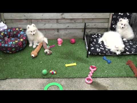 Little Rascals Uk breeders New litter of pure bred Samoyeds - Puppies for Sale 2015