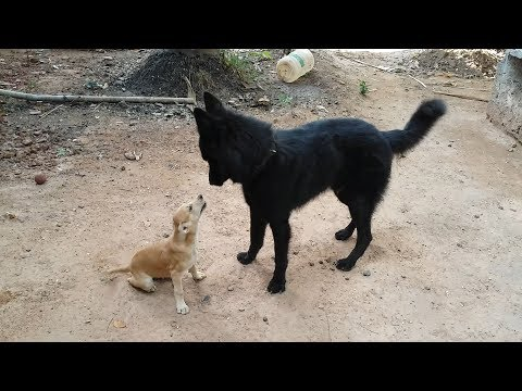 Belgian shepherd playing with Indian Puppy