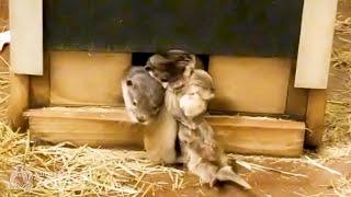 Otter Mom Struggles to Wrangle Pups