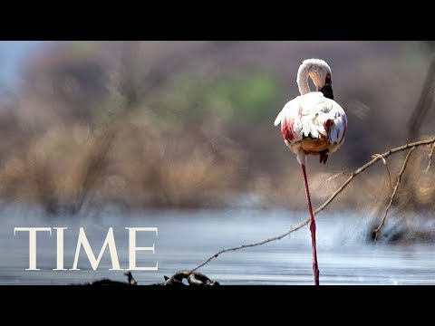 Download Youtube: Science Finally Discovered Why Flamingos Stand On 1 Leg | TIME