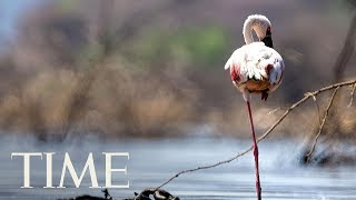 Science Finally Discovered Why Flamingos Stand On 1 Leg | TIME
