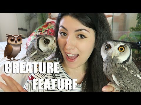 White Faced Scops Owl | Transforming Owl | Creature Feature