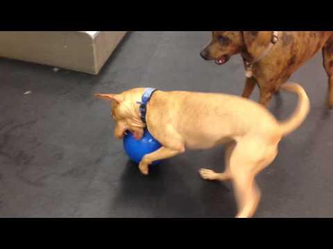 Boomer Ball Fun at RockStar Treatment Dog Daycare