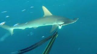 Scuba Divers Fend off Hammerhead Attack