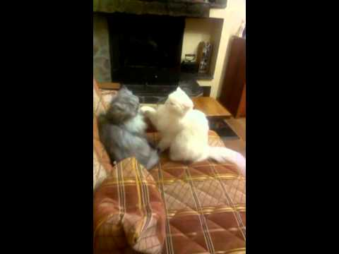 Two fluffy cats fighting