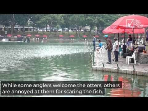 Otters Raid Fishing Pond In Pasir Ris