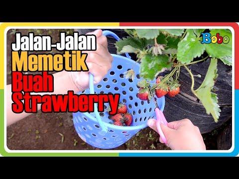 jalan-jalan-ke-kebun-strawberry---memetik-buah-strawberry-sendiri---wisata-bandung