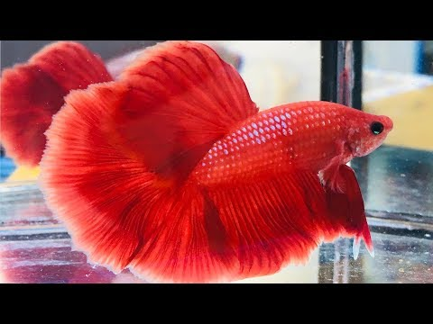 Slow Motion Beautiful Betta Fish With Relaxing Music #1