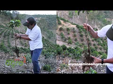 Como controlar la Palomilla de la raiz del cafeto