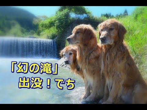 """もう1つの滝「幻の滝」出没♪戯れるゴールデンレトリバー💛 Another waterfall ♪ """"Phantom Waterfall"""" Golden Retriever"""