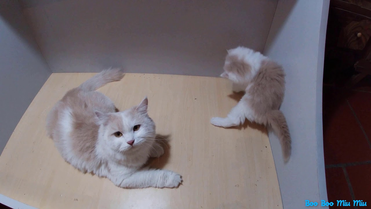 The mother cat lies and watches the kitten play
