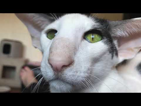 Reality Honks: There are cats and then there are Oriental Shorthairs!