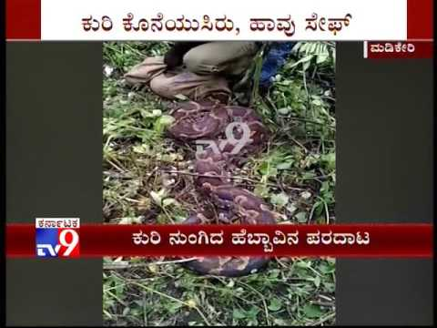 Python Swoons after Bid To Swallow Sheep in Madikeri