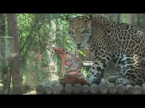 Cute animals in Santiago zoo, Chile, enjoy Christmas gifts