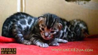 Котята бенгальской кошки   день 10