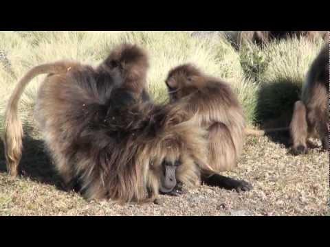 Gelada Baboons and Walia Ibex, Chennek Camp,  Ethiopia