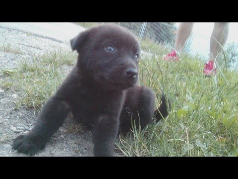 Labrador Retriever black puppy