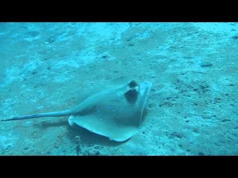 Cleaner fish with stingray, Jemeluk Drop off, Amed, Bali