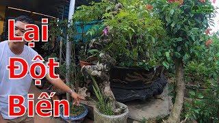 Lại xuất hiện hàng đột biến-cây cảnh-bonsai-BShp(0967828345)