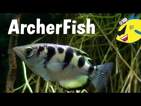 Archerfish Profile: Care And Feeding