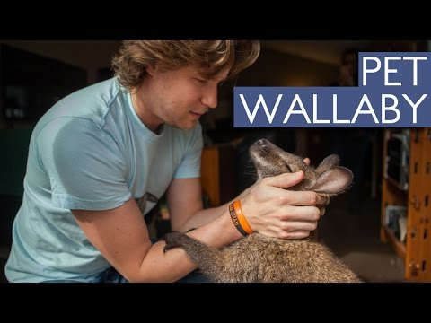 Man And Wallaby's Amazing Friendship