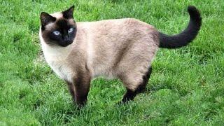 Тайская кошка— порода кошек, родственная сиамской.