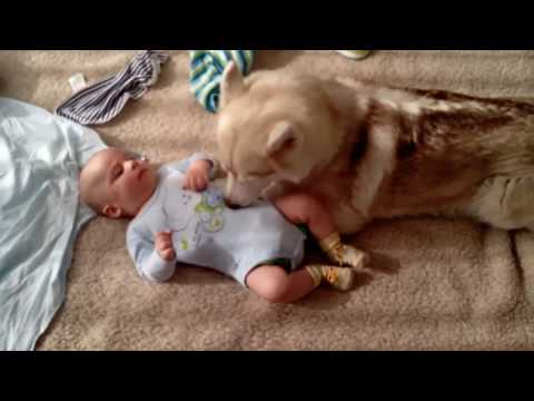 Husky Dog Babysitting | There's nothing greater than Dog and Baby
