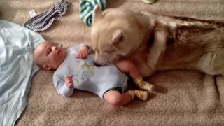 Husky Dog Babysitting   There's nothing greater than Dog and Baby