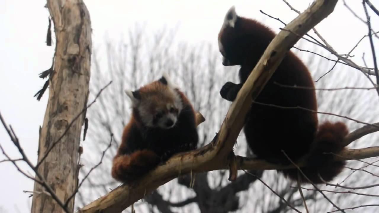 boxing red pandas youtube