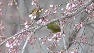 Japanese White-eye on Cherry Blossom メジロがシダレザクラの花で吸蜜(野鳥)