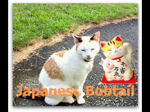 Gladys | Japanese Bobtail Cat | Adorable | Funny