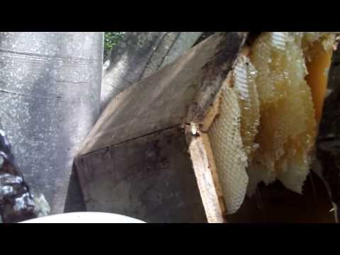 Rize karakovan bal sağımı..... milking black beehive honey turkey