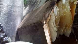 Rize karakovan bal sağımı..... milking black beehive honey turkey