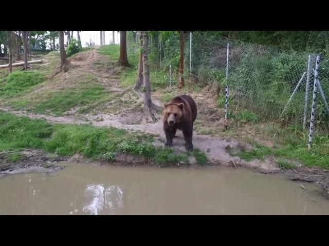 Setkání medvědů hnědých s dronem