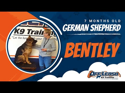 7-Month Old German Shepherd, Bentley! Best German Shepherd Trainers | Virginia Dog Trainers