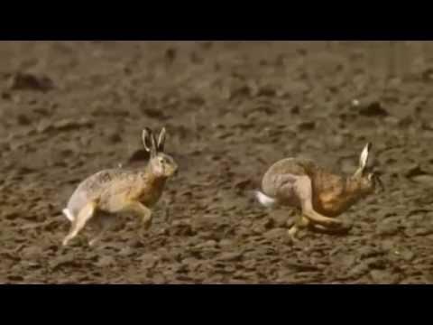 Hasen - Заяц - Leporidae -兔科 - კურდღლისებრნი - లెపోరిడే -ウサギ科