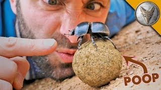 Dung Beetle BATTLE!