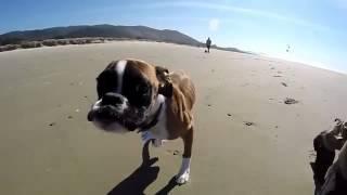 Видео   Двулапая собака Панда   Видеоролики на Sibnet