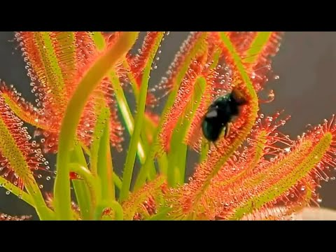 Top 10 Most Amazing Carnivorous Plants in the World